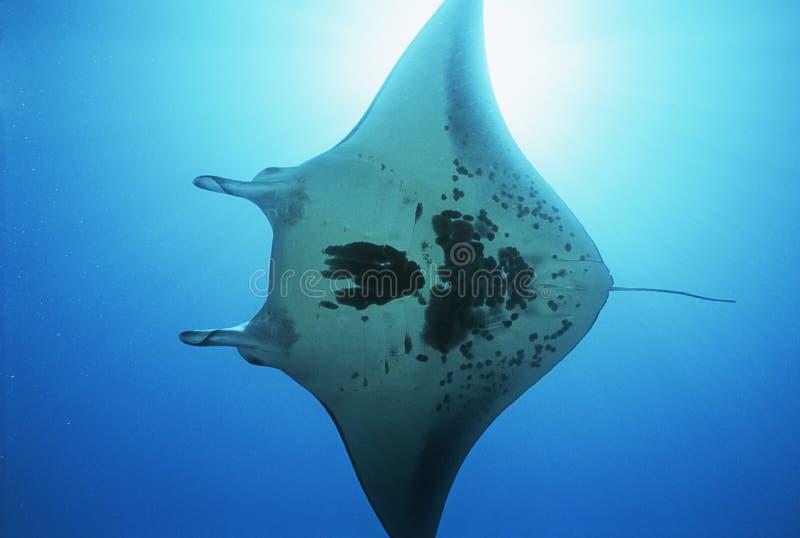 Άποψη ακτίνων manta Ειρηνικών Ωκεανών Ampat Ινδονησία Raja (birostris Manta) από κάτω από στοκ εικόνα