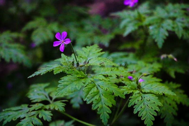 Άποψη ενός μικρού πορφυρού άγριου λουλουδιού γερανιών που κρύβεται στην πράσινη χλόη στοκ φωτογραφία με δικαίωμα ελεύθερης χρήσης