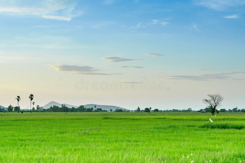 Άποψη εδάφους scape του φοίνικα και του ρύζι-τομέα χυμού φοινικόδεντρου με τη σκιά από τον ήλιο στοκ φωτογραφία