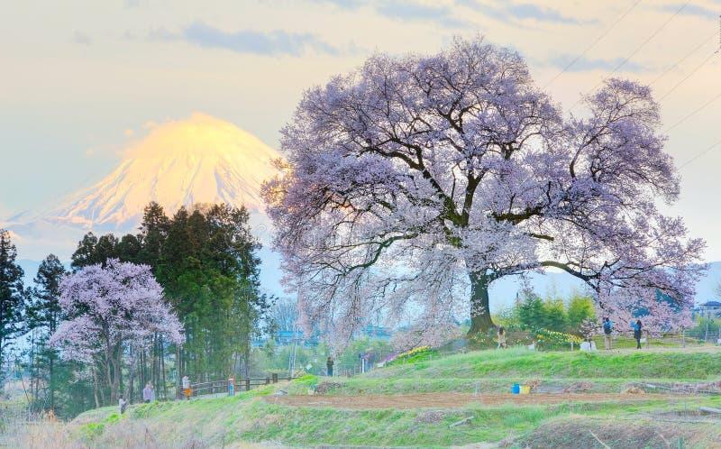 Άποψη ηλιοβασιλέματος φωτισμένου Wanitsuka Sakura (ένα 300χρονο δέντρο κερασιών) σε έναν λόφο με το χιονοσκεπές υποστήριγμα Φούτζ στοκ εικόνα με δικαίωμα ελεύθερης χρήσης
