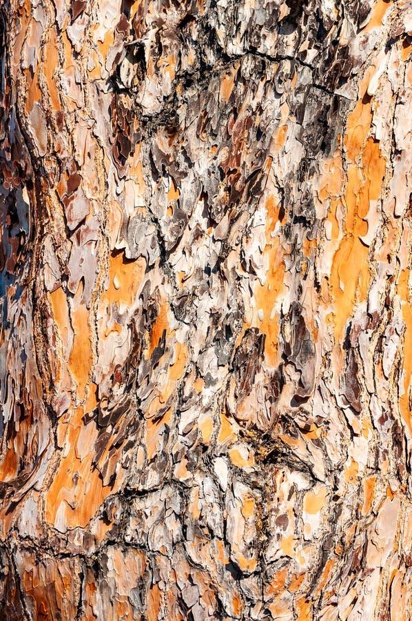 Άποψη κινηματογραφήσεων σε πρώτο πλάνο της διαμορφωμένης επιφάνειας του φλοιού κορμών δέντρων πεύκων στοκ εικόνες