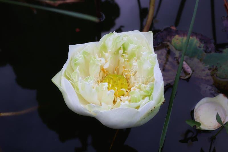 Άποψη κινηματογραφήσεων σε πρώτο πλάνο, τοπ άποψη, άσπρος λωτός, όμορφη πράσινη και κίτρινη γύρη για το φυσικό υπόβαθρο στοκ εικόνες
