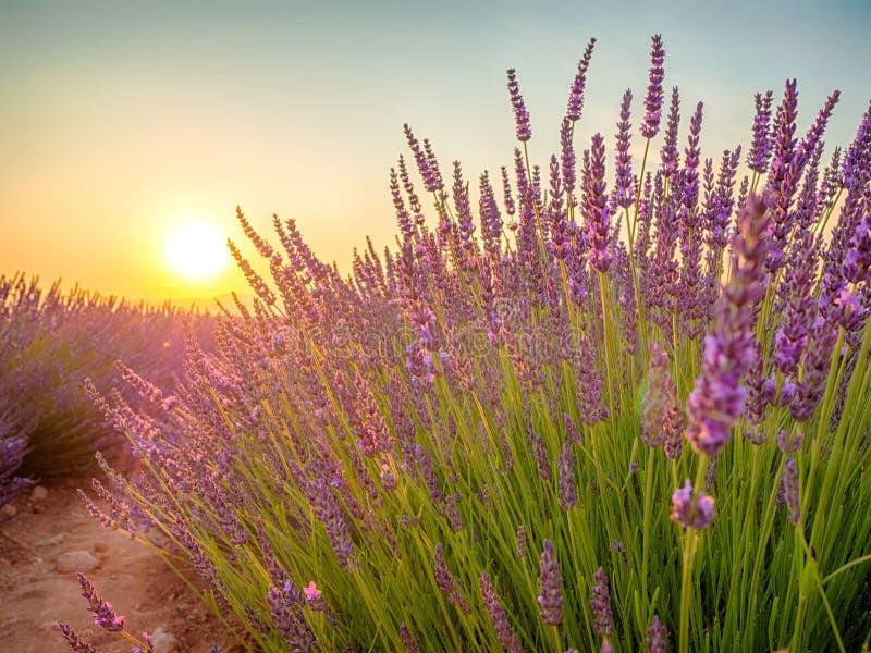 Άποψη κινηματογραφήσεων σε πρώτο πλάνο του ηλιοβασιλέματος πέρα από τον ιώδη lavender τομέα στην Προβηγκία στοκ φωτογραφία