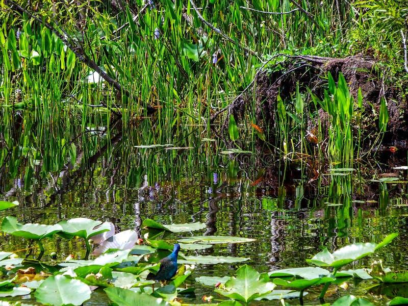 Άποψη μέσα σε ένα έλος της Φλώριδας Everglades στοκ φωτογραφία με δικαίωμα ελεύθερης χρήσης