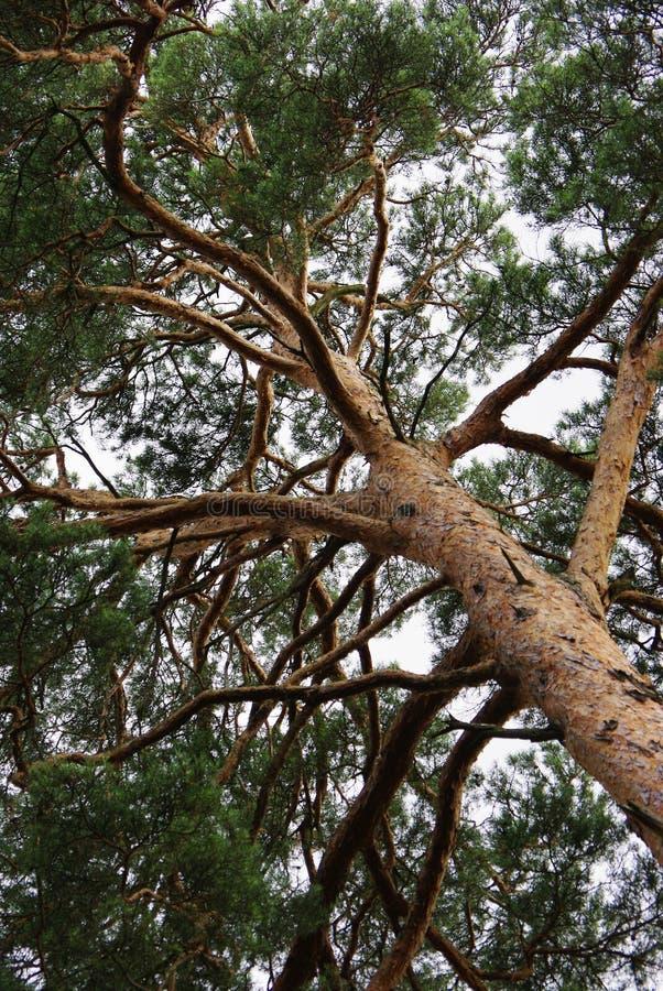Άποψη να ανατρέξει σε μια κορώνα δέντρων πεύκων στοκ εικόνα με δικαίωμα ελεύθερης χρήσης
