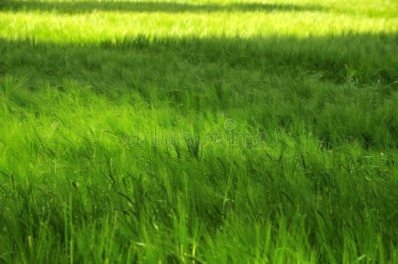 Άποψη πέρα από τον πράσινο τομέα κριθαριού στοκ εικόνα