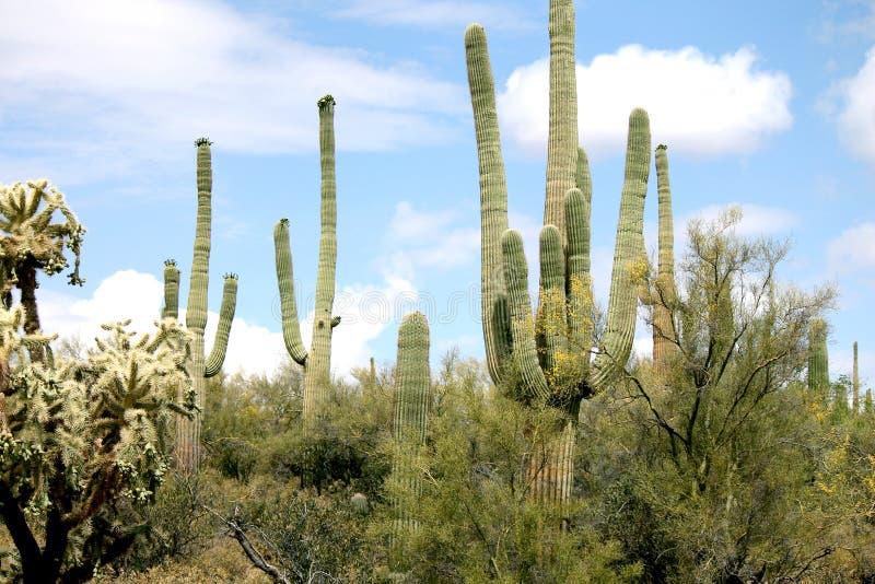 Άποψη πρωινού των κάκτων στην έρημο στην Αριζόνα στοκ φωτογραφία με δικαίωμα ελεύθερης χρήσης