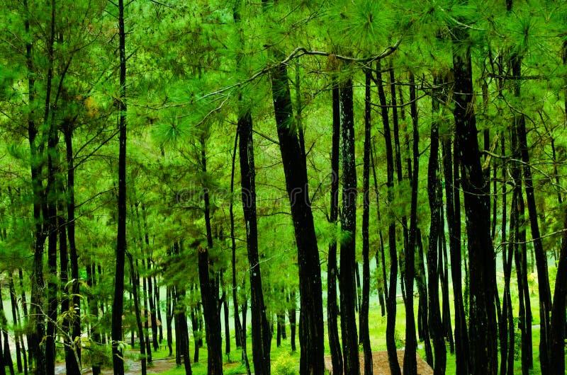 Άποψη στη μέση του δάσους πεύκων στοκ φωτογραφία
