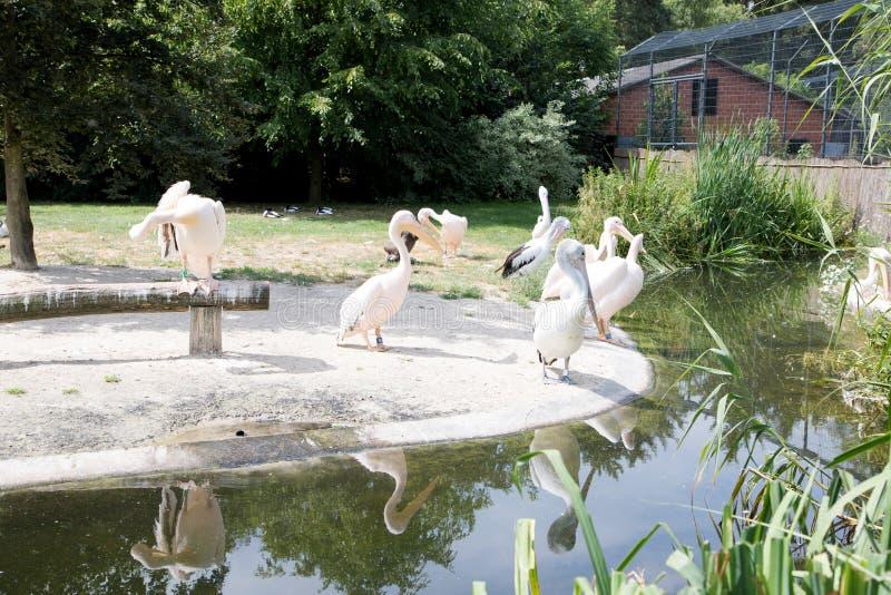 Άποψη σχετικά με μια ομάδα πελεκάνου στο ζωολογικό κήπο στη Γερμανία στοκ φωτογραφία με δικαίωμα ελεύθερης χρήσης