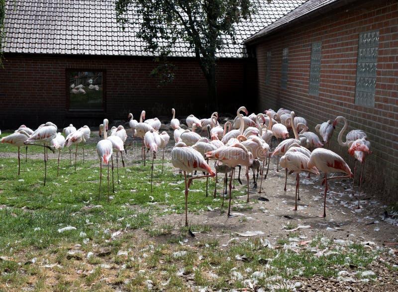 Άποψη σχετικά με μια ομάδα φλαμίγκο στο ζωολογικό κήπο στη Γερμανία στοκ εικόνα