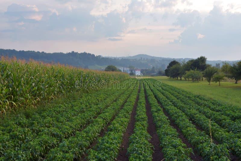 Άποψη τοπίου των σειρών συγκομιδών φυτειών καλαμποκιού και πατατών στοκ φωτογραφίες