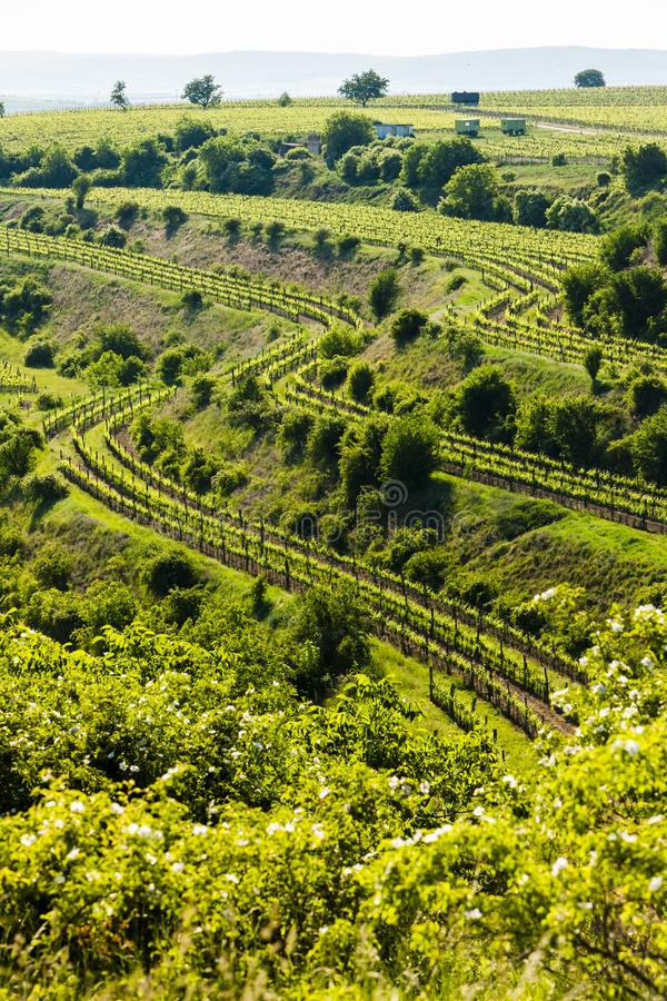 άποψη του αμπελώνα Jecmeniste, περιφέρεια Znojmo, Τσεχική Δημοκρατία στοκ φωτογραφίες με δικαίωμα ελεύθερης χρήσης