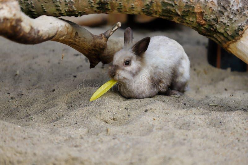 Άποψη του μπεζ-γκρίζου εσωτερικού pygmy λαγουδάκι κουνελιών κατά τη διάρκεια του γεύματος στοκ φωτογραφία με δικαίωμα ελεύθερης χρήσης