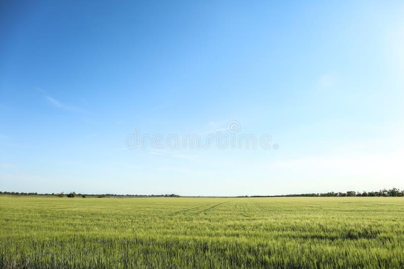 Άποψη του όμορφου τομέα σίτου με το μπλε ουρανό την ηλιόλουστη ημέρα στοκ εικόνα με δικαίωμα ελεύθερης χρήσης