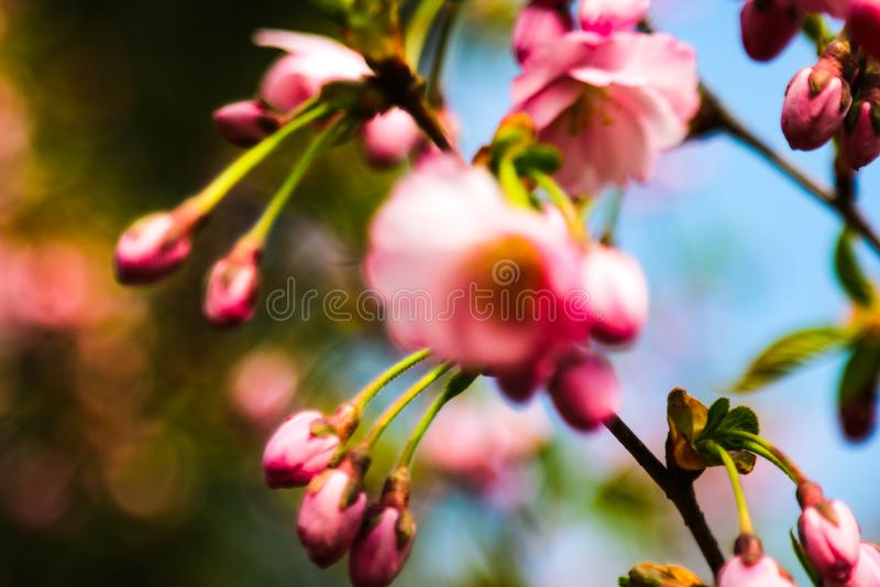Άποψη των ανθίζοντας δέντρων μήλων και κερασιών στον κήπο την άνοιξη Υπόβαθρο φύσης, η αρχή της ζωής, ηλιόλουστη ημέρα στοκ φωτογραφία