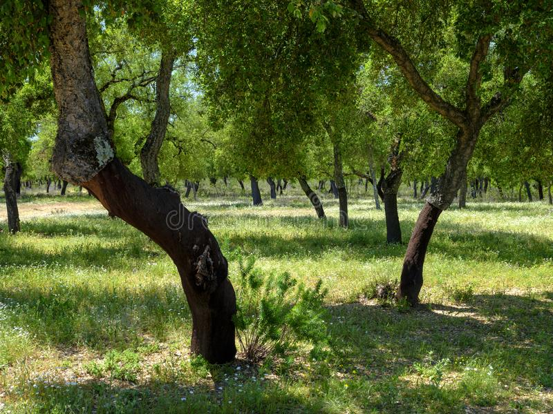Άποψη των δέντρων φελλού μέσα σε ένα σκιερό ξέφωτο έξω από την πόλη της EL Chaparrito, κοντά στο Parque φυσικό de Λα Sierra de Gr στοκ εικόνες με δικαίωμα ελεύθερης χρήσης