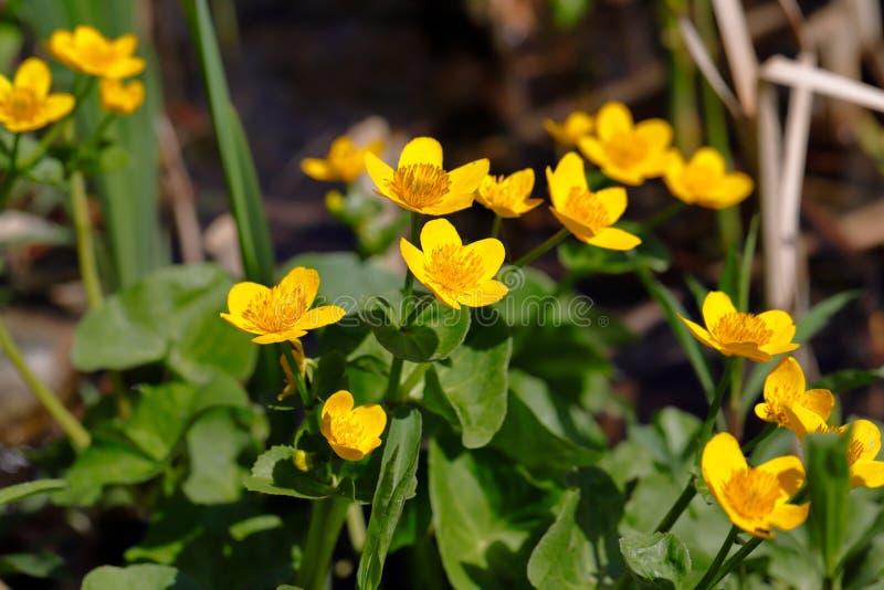 Άποψη των palustris caltha ανθίσματος, γνωστή ως φυτό ελών έλος-marigold στοκ φωτογραφία με δικαίωμα ελεύθερης χρήσης
