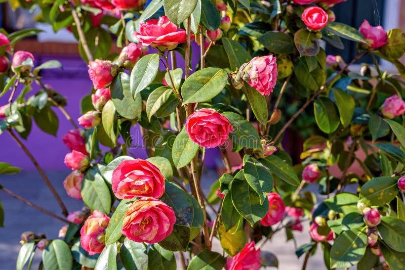 Άποψη φωτός της ημέρας στα ροδαλά λουλούδια με τα φύλλα και να λάμψει ήλιων στοκ φωτογραφία