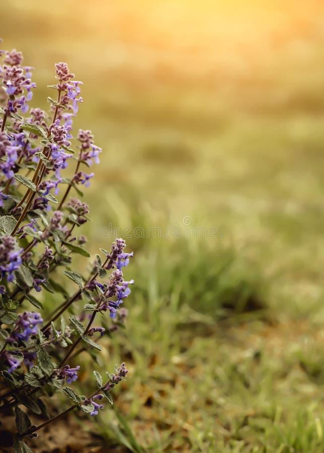 Άποψη φύσης κινηματογραφήσεων σε πρώτο πλάνο των ρόδινων πορφυρών λουλουδιών στο θερμό υπόβαθρο ηλιοφάνειας άνοιξη στο διάστημα α στοκ εικόνα με δικαίωμα ελεύθερης χρήσης