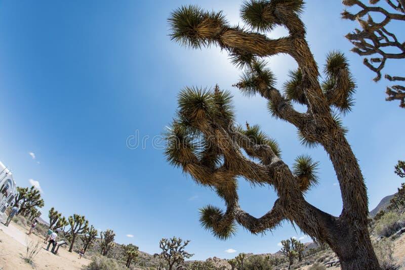 Άποψη Fisheye του δέντρου του Joshua ενάντια στο μπλε ουρανό στο εθνικό πάρκο δέντρων του Joshua στοκ φωτογραφία με δικαίωμα ελεύθερης χρήσης
