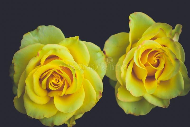 Άριστο μπουμπούκι τριαντάφυλλου δύο στοκ φωτογραφία με δικαίωμα ελεύθερης χρήσης