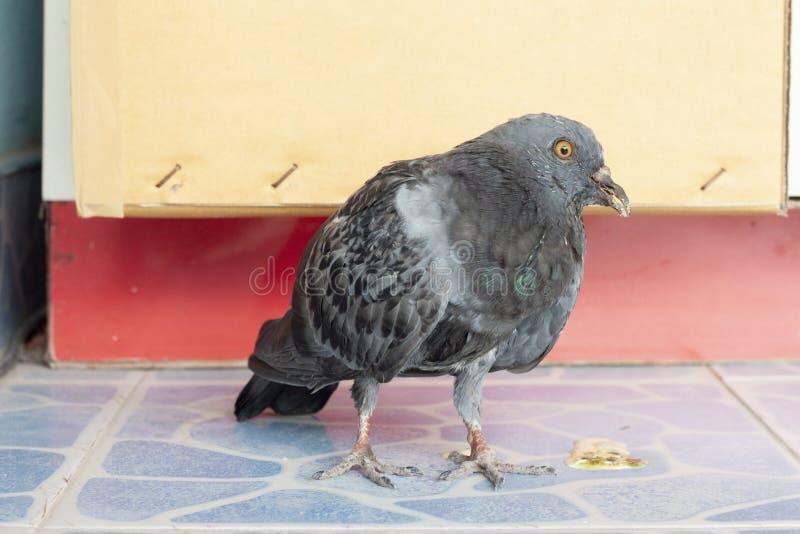 Άρρωστη στάση περιστεριών πουλιών στο πάτωμα κεραμιδιών στοκ εικόνα