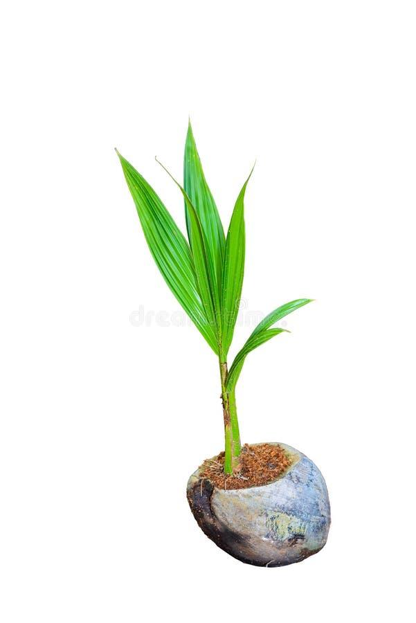 Άρωμα καρύδων, νέα μικρά δέντρα καρύδων που απομονώνονται στη λευκιά ΤΣΕ στοκ εικόνα με δικαίωμα ελεύθερης χρήσης
