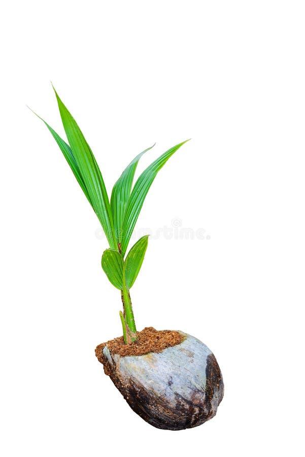 Άρωμα καρύδων, νέα μικρά δέντρα καρύδων που απομονώνονται στη λευκιά ΤΣΕ στοκ εικόνα