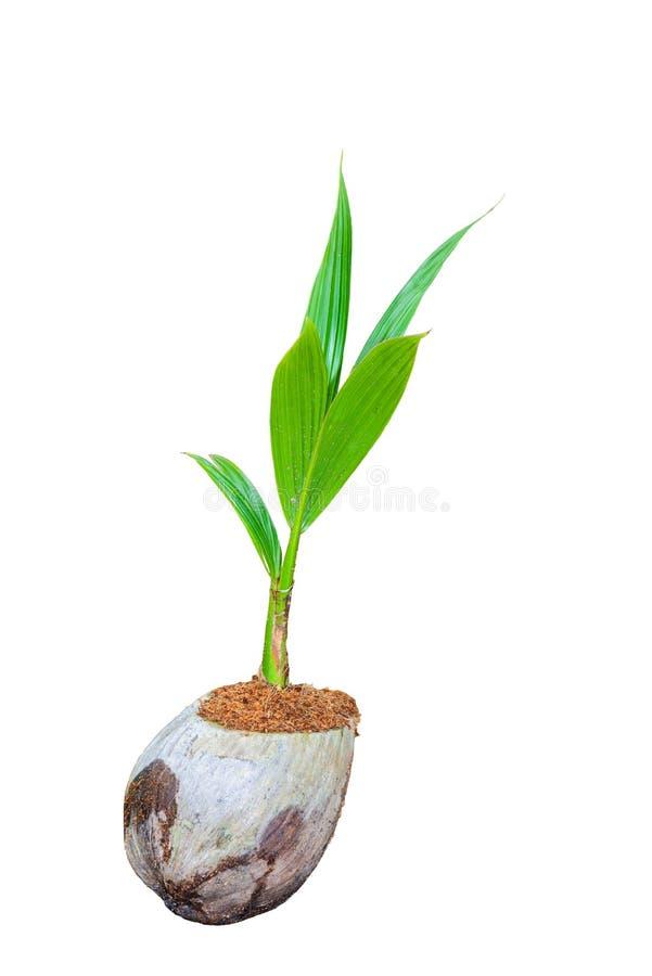 Άρωμα καρύδων, νέα μικρά δέντρα καρύδων που απομονώνονται στη λευκιά ΤΣΕ στοκ εικόνες