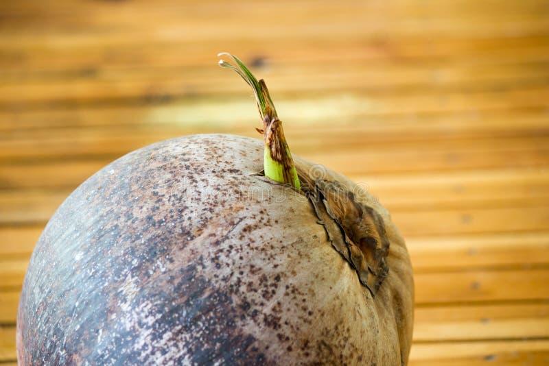 Άρωμα καρύδων, νέα μικρά δέντρα καρύδων προετοιμασίες για το suc στοκ εικόνα