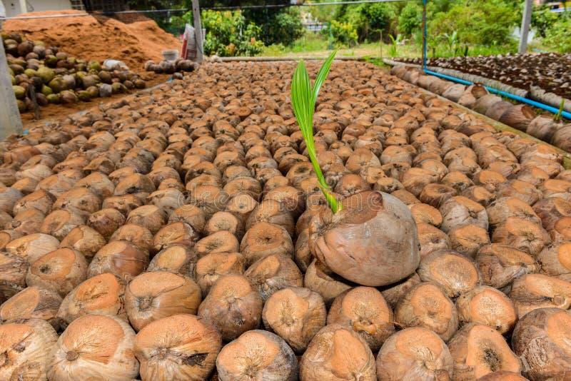 Άρωμα καρύδων, νέα μικρά δέντρα καρύδων στοκ φωτογραφία με δικαίωμα ελεύθερης χρήσης