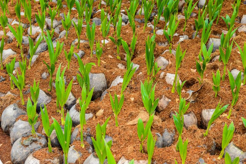 Άρωμα καρύδων, νέα μικρά δέντρα καρύδων στοκ φωτογραφία