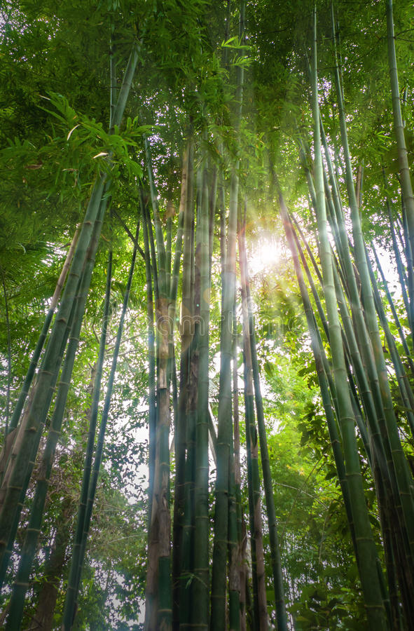 δάσος μπαμπού φρέσκο στοκ εικόνες