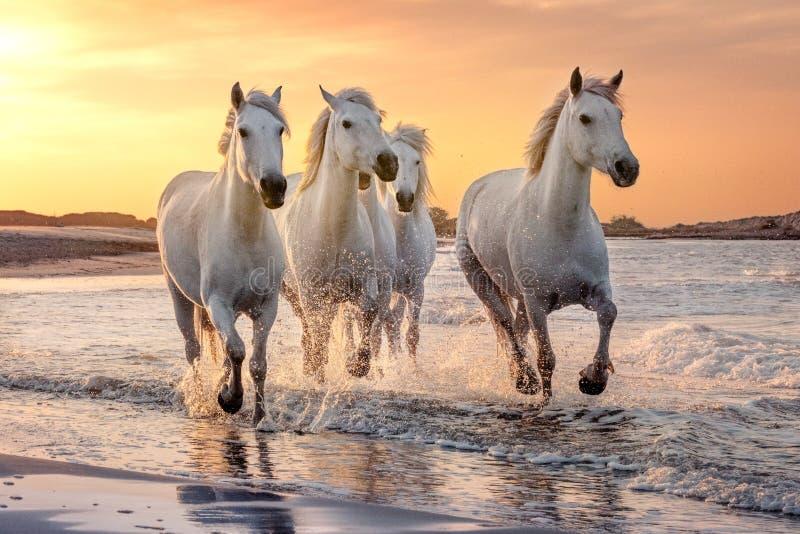 Άσπρα άλογα σε Camargue, Γαλλία στοκ φωτογραφία με δικαίωμα ελεύθερης χρήσης