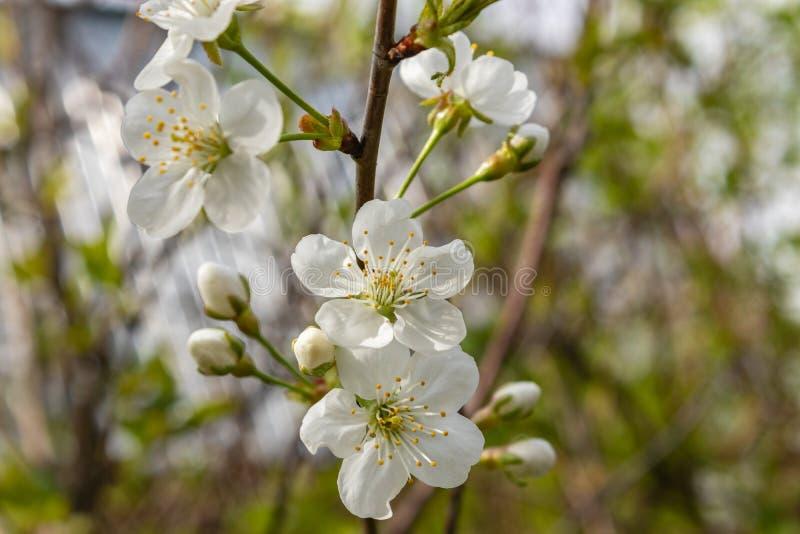 Άσπρα άνθη κερασιών μια ημέρα άνοιξη στον κήπο Όμορφη ημέρα άνοιξη o στοκ φωτογραφία με δικαίωμα ελεύθερης χρήσης