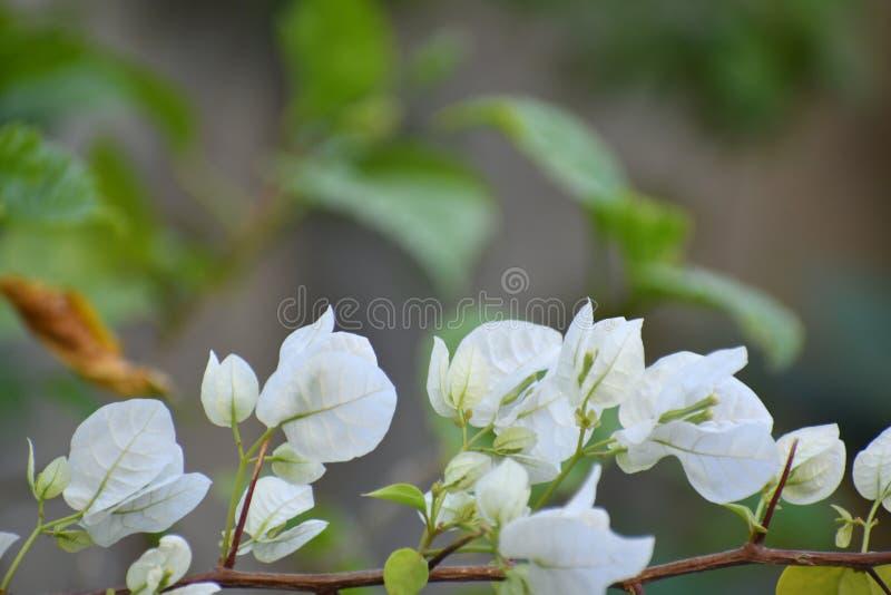 Άσπρα άσπρα λουλούδια bougainvillea Bougainvillea στοκ φωτογραφίες
