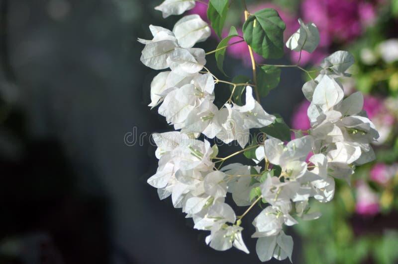 Άσπρα άσπρα λουλούδια bougainvillea Bougainvillea στοκ φωτογραφία με δικαίωμα ελεύθερης χρήσης