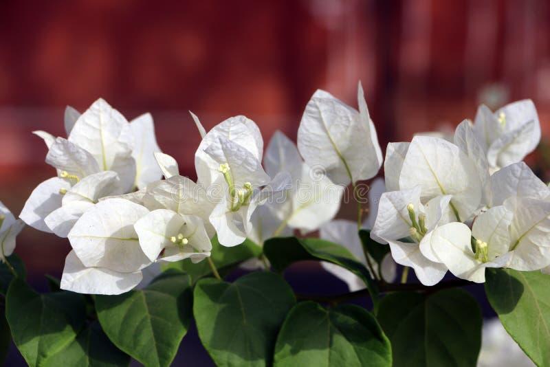 Άσπρα άσπρα λουλούδια bougainvillea Bougainvillea στοκ εικόνα με δικαίωμα ελεύθερης χρήσης