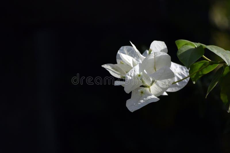 Άσπρα άσπρα λουλούδια bougainvillea Bougainvillea στοκ φωτογραφία