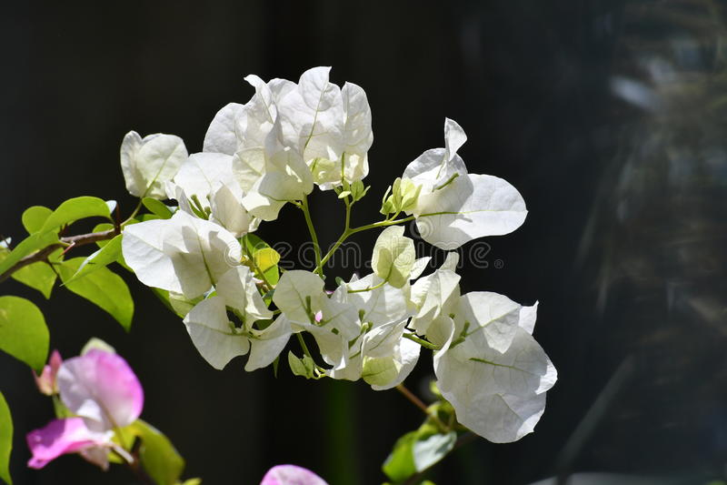Άσπρα άσπρα λουλούδια bougainvillea Bougainvillea στοκ φωτογραφίες με δικαίωμα ελεύθερης χρήσης