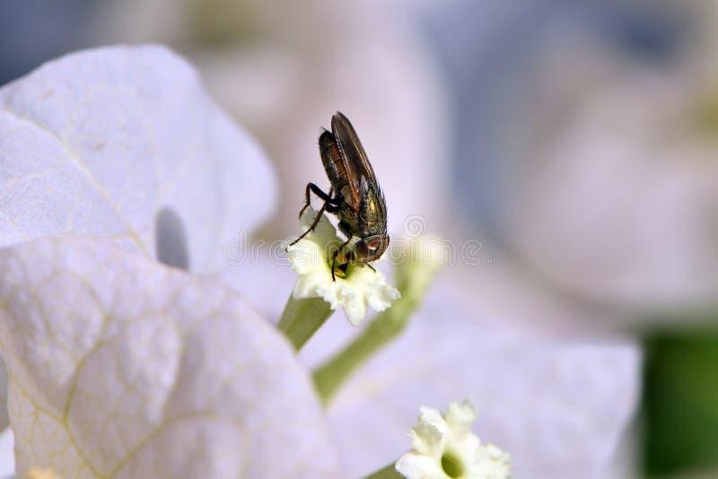 Άσπρα άσπρα λουλούδια bougainvillea Bougainvillea στοκ εικόνες