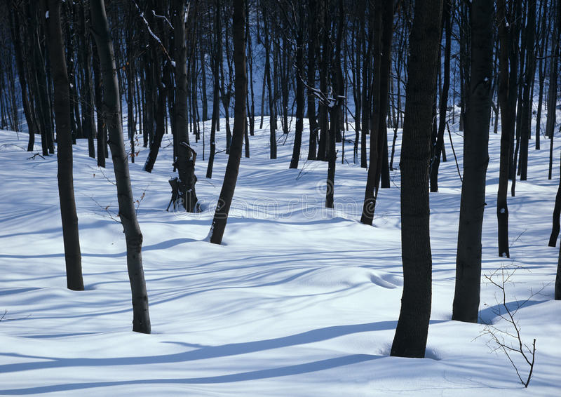 άσπρα δάση σιωπής στοκ εικόνες