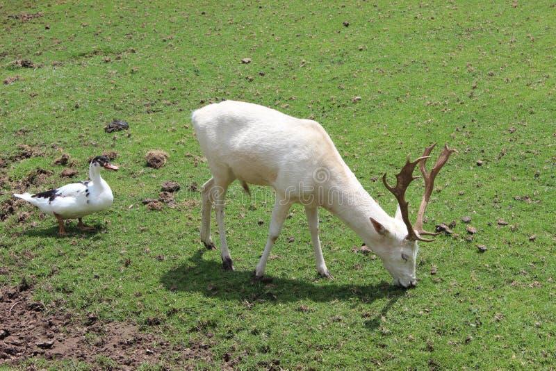 άσπρα ελάφια την πάπια που διαμορφώνεται με στοκ φωτογραφία