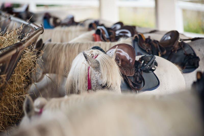 Άσπρα εξοπλισμένα άλογα με τις σέλες στοκ εικόνες