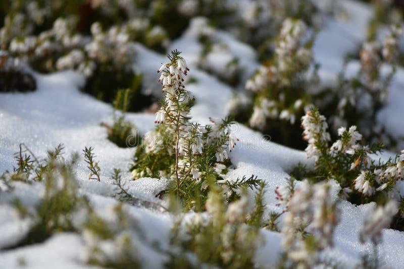 Άσπρα ερείκη & x28 Erica SP & x29  άνθισμα στο χιόνι στοκ εικόνες