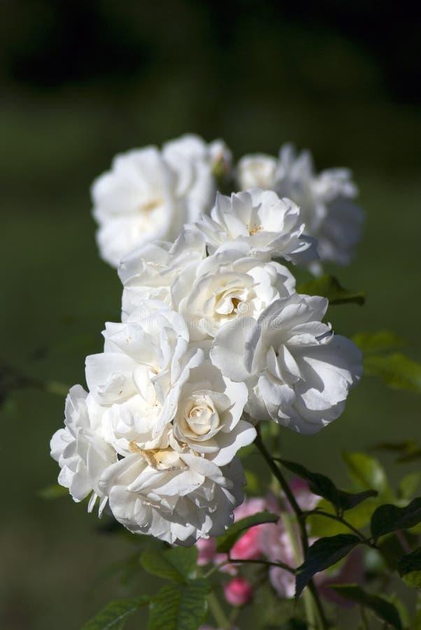 Άσπρα θερινά τριαντάφυλλα στοκ εικόνες