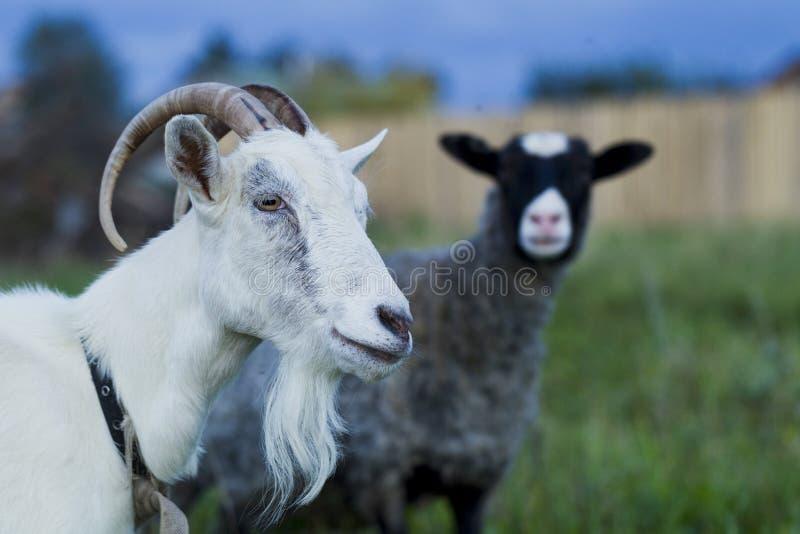 Άσπρα και γκρίζα πρόβατα αιγών στοκ εικόνες με δικαίωμα ελεύθερης χρήσης