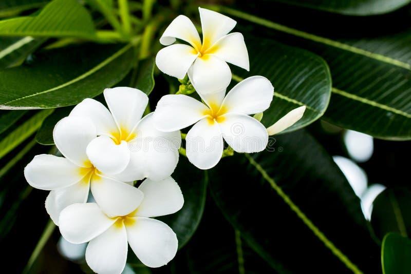 Άσπρα και κίτρινα λουλούδια frangipani με τα φύλλα στο υπόβαθρο στοκ εικόνα