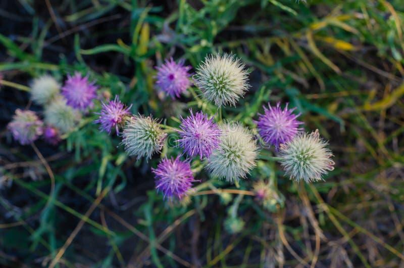 Άσπρα και μαλακά ιώδη wildflowers Moschata Amberboa Άποψη από πάνω προς τα κάτω r : στοκ εικόνες