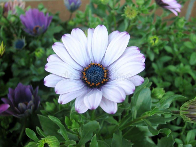 Άσπρα και πορφυρά αφρικανικά λουλούδια μαργαριτών Osteospermum στοκ φωτογραφία με δικαίωμα ελεύθερης χρήσης